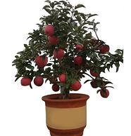 楊久久 矮化盆栽蘋果樹苗 贈一包生根粉+一包肥料
