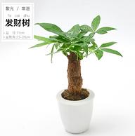 發財樹小盆栽