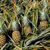 云南特产 悠乐果 香水小菠萝8斤 约4-6个