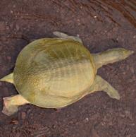 荷蟹 洪湖3年生态甲鱼活体 1.2-1.6斤