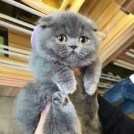 萌宠!英国短毛猫 蓝猫 60天左右猫龄