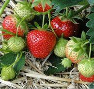 共3斤,田小七 巧克力草莓 750g*2件
