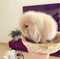 包活到家!初九发货,宠物活体  垂耳兔 咖啡色