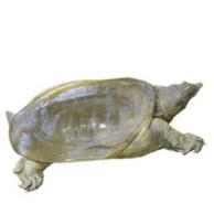 现捕现发,秋季 活体甲鱼 2只装共2斤