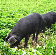 对面小城 散养黑土猪 带皮 五花肉 500g装 x2件