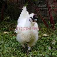 当天现宰:3只x950g/只 芮瑞 白凤 散养 乌鸡