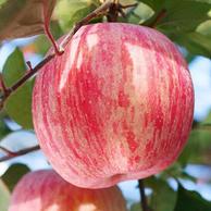 食尚宣言 洛川红富士苹果 果径75-85mm 5斤 x2件