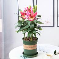 半径风景 香水百合盆栽 带花苞 3棵(带土球)
