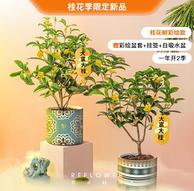 花点时间 桂花树盆栽