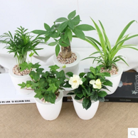 水培植物盆栽