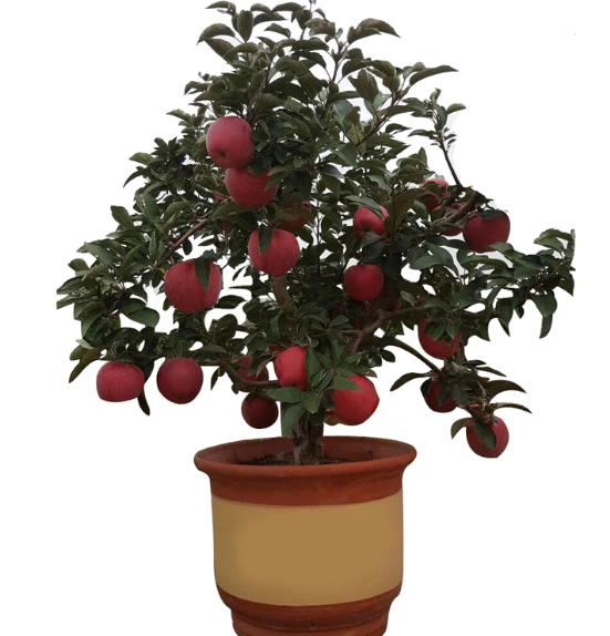 杨久久 矮化盆栽苹果树苗 赠一包生根粉+一包肥料 券后9.8元包邮 买手党-买手聚集的地方