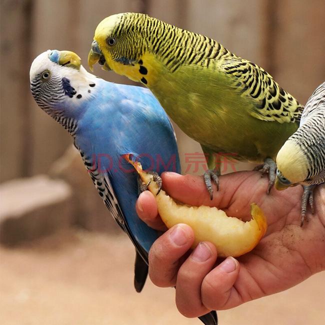 新低,说话鸟!虎皮鹦鹉 2只(一公一母)活体宠物 送新手礼包 68元包邮 买手党-买手聚集的地方