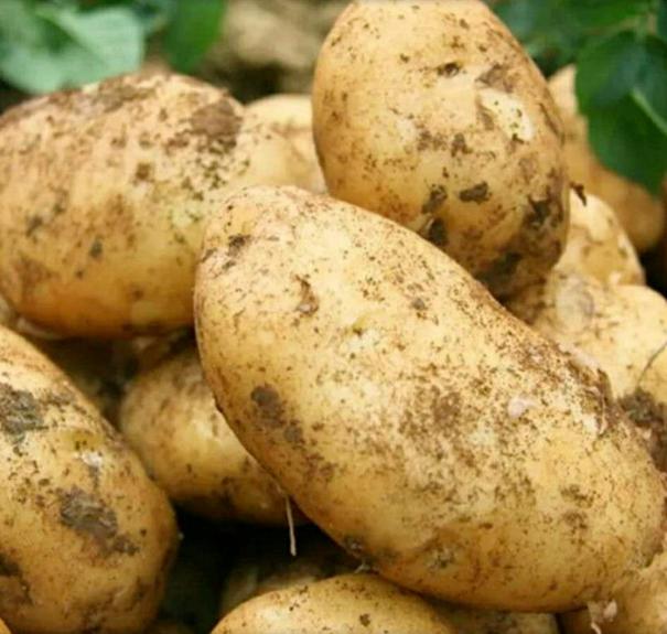 白菜价、5斤、24小时、烂果包赔:现挖土豆 11.9元包邮 折2.4元/斤 买手党-买手聚集的地方